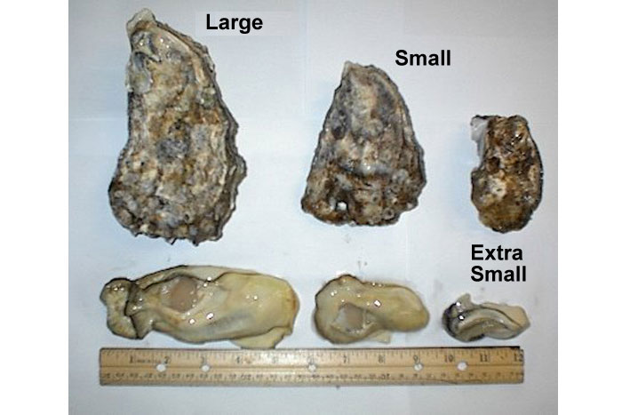 sizes of oysters